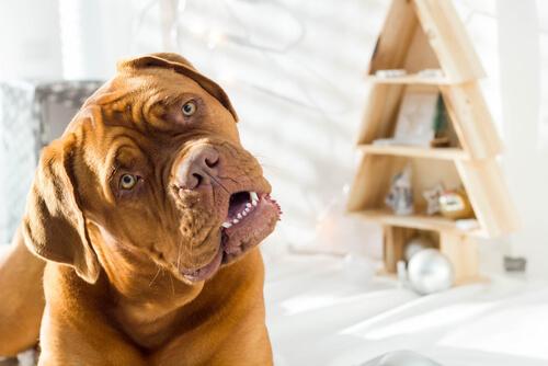¿Tu perro gira la cabeza cuando le hablas?