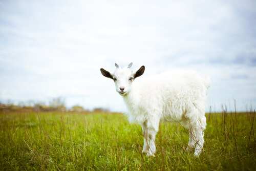 ¿Sabías que hay gente que tiene cabras como mascota?
