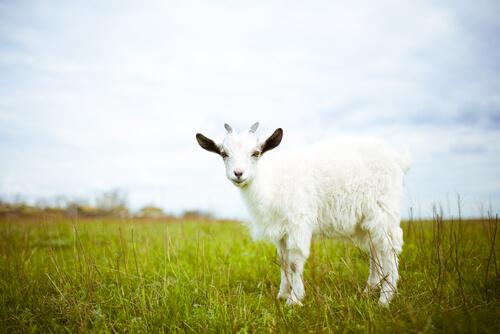 White goat in a field.