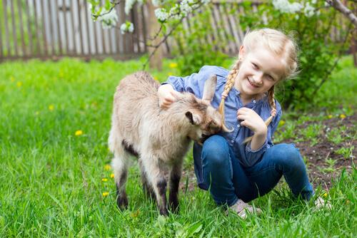 A las cabras les encantan los juegos y los mimos.