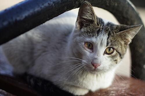 Cáncer en gatos, síntomas y causas