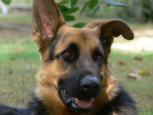 Consejos sobre cortar las orejas a tu perro