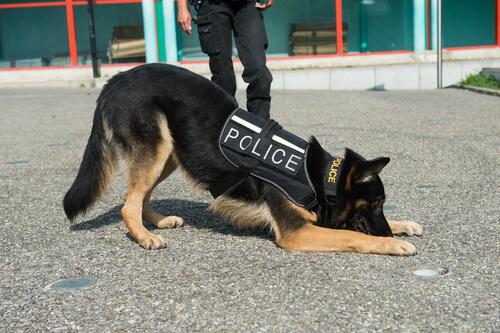¿Cuáles son las cualidades de los perros policía?