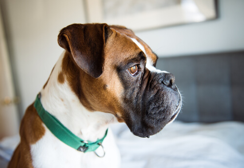Identifica los síntomas de depresión en perros