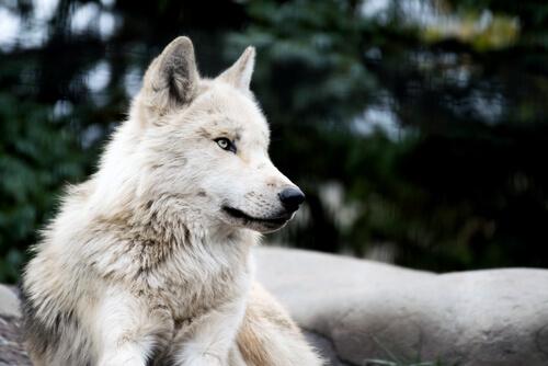 ¿Existe el perro lobo?