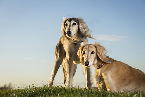 El saluki, el perro real de Egipto