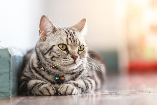 La ciencia detrás del bienestar de los gatos domésticos