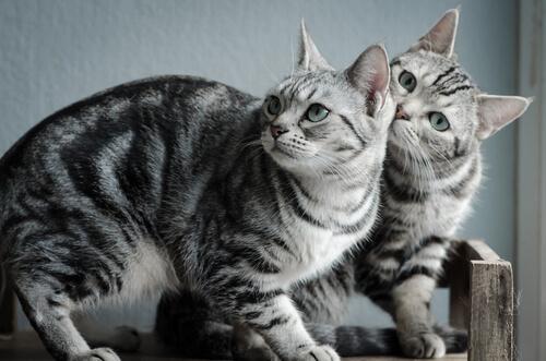 Gato brasileno de pelo corto caracteristicas