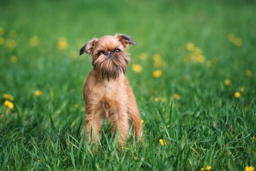 Perro grifon de bruselas en el campo