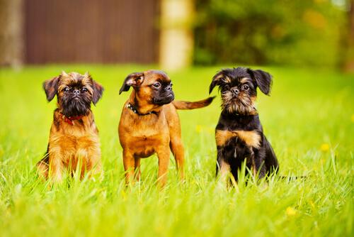 Tres perros grifon de bruselas en el cesped
