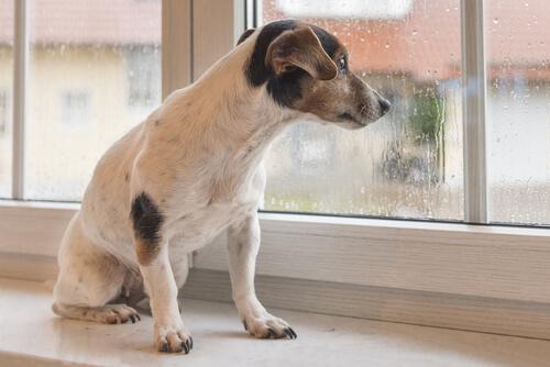 Perro mirando por la ventana la lluvia