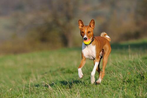 ¿Cuál es la raza de perros que menos ladra?