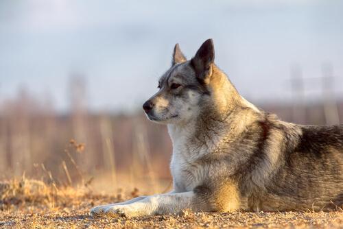 Laikas: un perro venido de Rusia