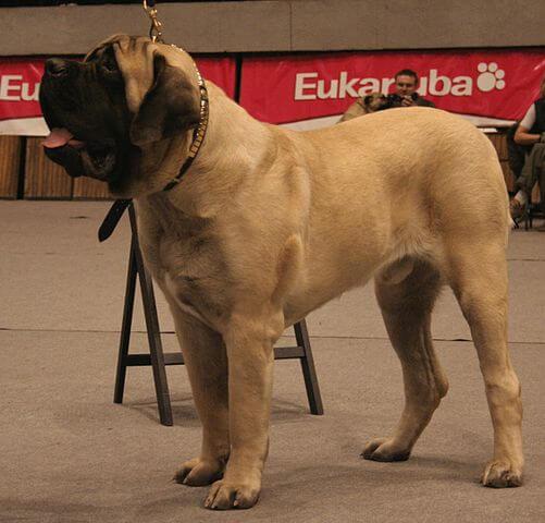 Perro en exhibicion