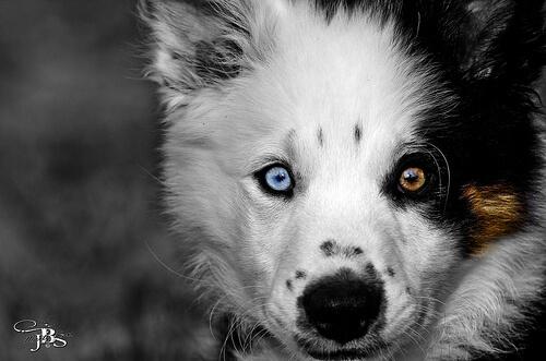 Hay razas de perros con un ojo de cada color