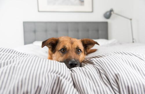 Perro en la cama
