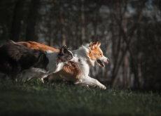 Los border collier son perros excelentes para el pastoreo