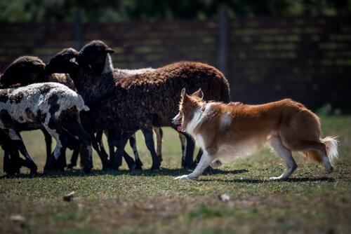 border collie en entrenamiento de pastoreo