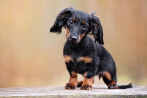 El Teckel, también conocido como perro salchicha