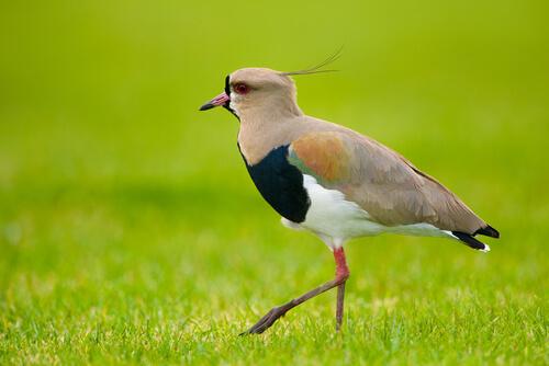 Características comunes de aves zancudas