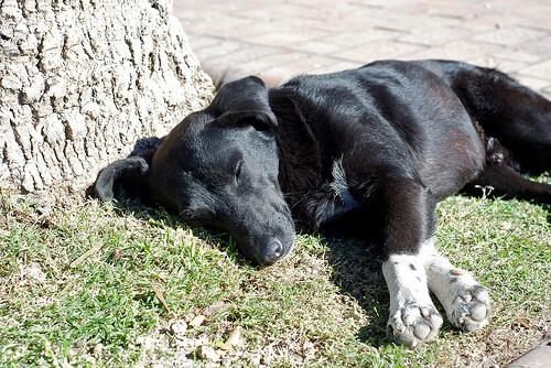 Qué es la torsión de estómago en perros