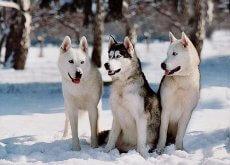 Perros husky siberianos