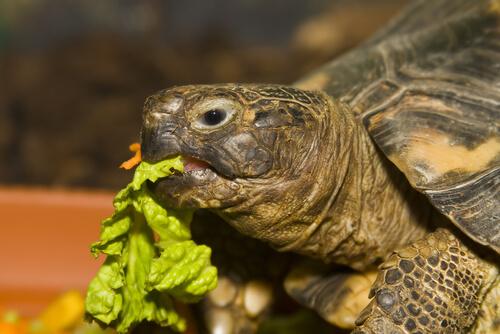 Alimentación ideal de una tortuga