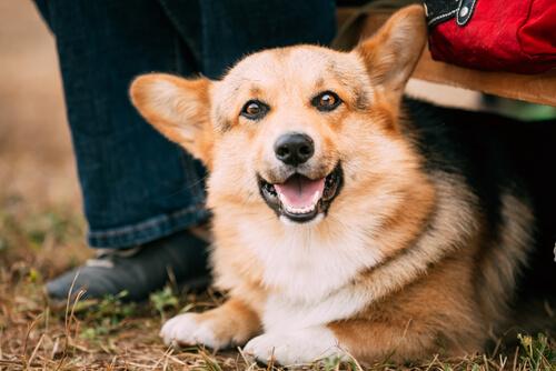 Los aspectos legales de la adopción de perros