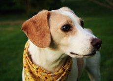 Perro con un pañuelo en el cuello