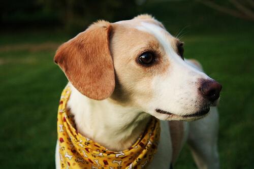 La babesiosis canina