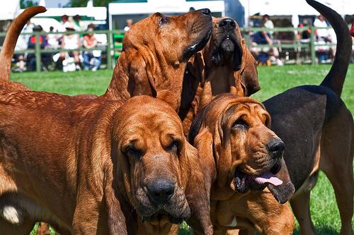 Cuatro perros bloodhound