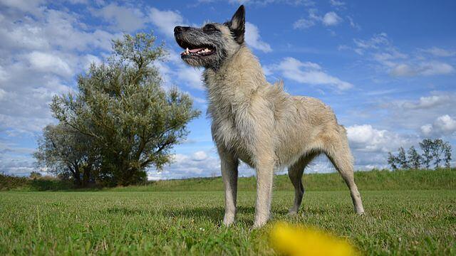 Perro boyero de las ardenas en el campo