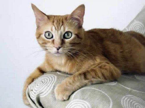 Brasileño de pelo corto, una raza de gatos originada en las calles