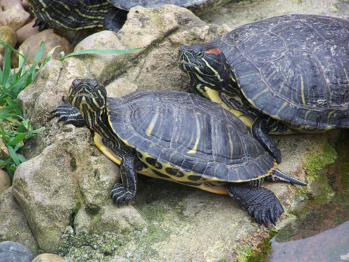 Dos tortugas en una piedra