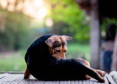 Perro con dermatitis acral rascandose el cuerpo con la boca