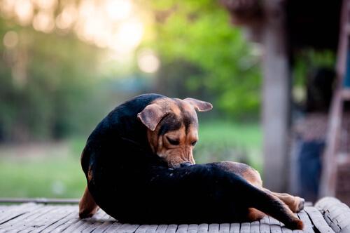 Tipos de ácaros que afectan a las mascotas