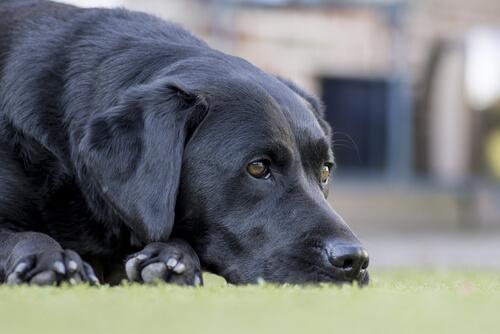 Las enfermedades del perro anciano y su tratamiento