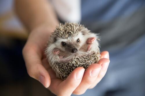 Tipos de erizos como mascota