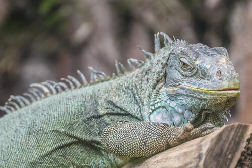 Iguana verde en una piedra