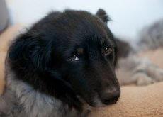 Perro con la ehrliquiosis canina