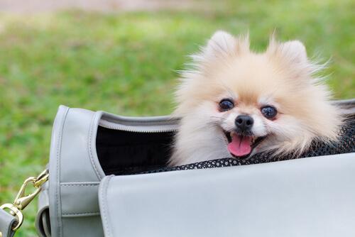 ¿Es buena idea llevar a tu perro en un bolso?