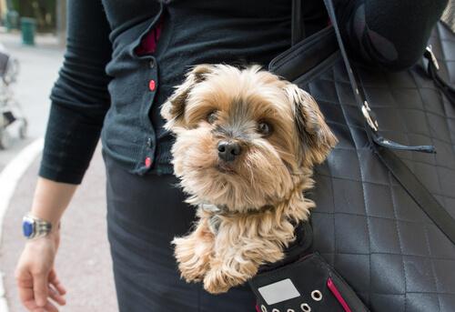 Llevar a tu perro en un bolso