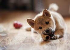 Cachorro comiendo