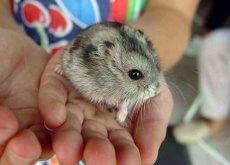 Hamster en una mano