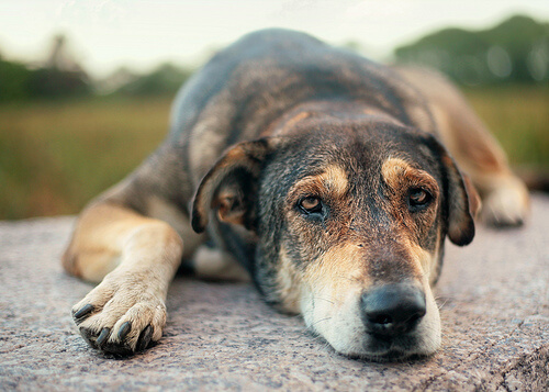 Perro triste tumbado