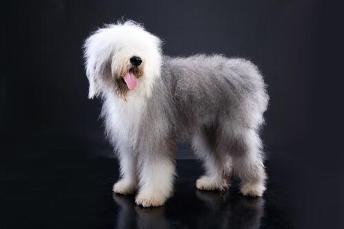 Perros con cola corta