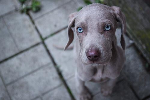 manchas grises en la piel de mi perro