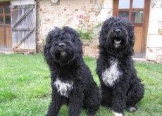 Dos perros de agua en el cesped