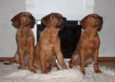 Perros de japon en casa