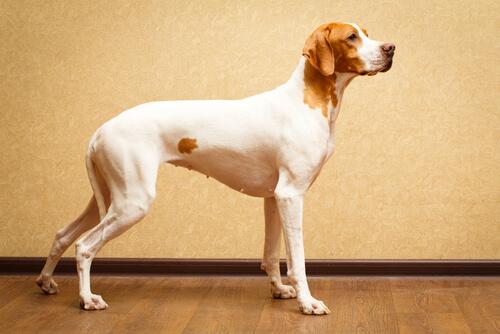 Razas de perros de pelo corto